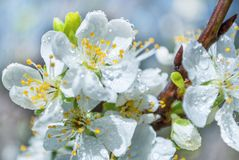 Apple blossom flower with water drops on spring day in nature Royalty Free Stock Photo