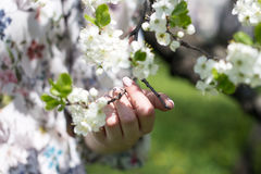 Apple blossom Stock Photography