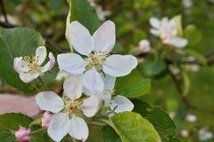 Apple blossom, flowering tree Royalty Free Stock Image