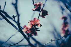 Apple blossom flowers Royalty Free Stock Photography