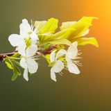 Apple blossom flowers. Royalty Free Stock Photography