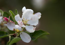 The apple blossom flowers macro shot Stock Photo
