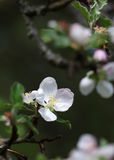 The apple blossom flowers macro shot Royalty Free Stock Photos