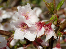 Apple blossom flowers with rain water drops. Apple blossom flowers with sparkling rain water, dew drops. Macro shot Royalty Free Stock Photography