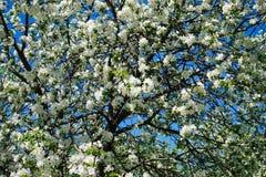 Apple blossom in garden. Spring Apple blossom in the garden royalty free stock image