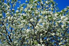 Apple blossom in garden. Spring Apple blossom in the garden royalty free stock photos