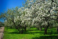 Apple blossom in garden stock photos