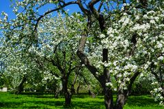 Apple blossom in garden royalty free stock photos