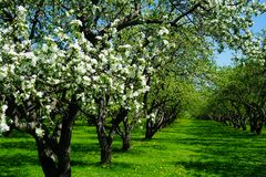 Apple blossom in garden royalty free stock image