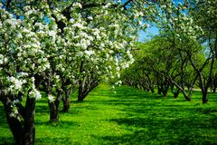 Apple blossom in garden royalty free stock photography