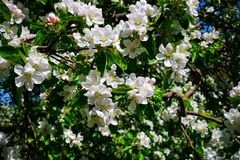 Apple blossom in garden royalty free stock photo