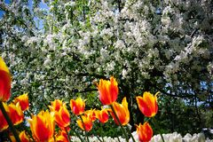 Apple blossom in garden. Tulips on the background of blooming Apple trees royalty free stock images