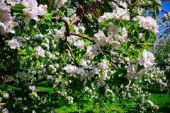 Apple blossom in garden stock image