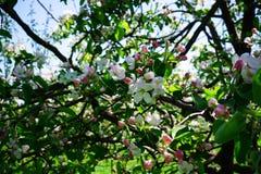 Apple blossom in garden royalty free stock photos