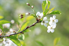 apple blossom in garden stock images