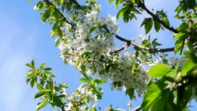 Apple blossom in Germany, detail of a blossoming stock footage