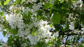 Apple blossom in Germany, detail of a blossoming stock video