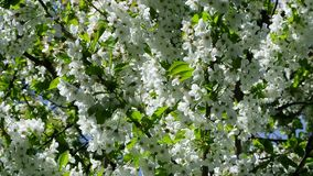 Apple blossom in Germany, detail of a blossoming stock video footage