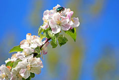 Apple blossom and green bug Stock Photo
