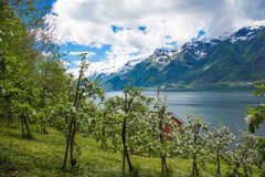 Apple blossom in Hardangerfjord, Norway Stock Images