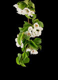 Apple blossom isolated Stock Photography