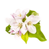 Apple blossom isolated Stock Photos