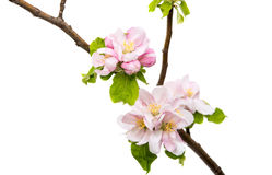 apple blossom Stock Photos