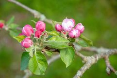 Apple blossom in the spring royalty free stock image