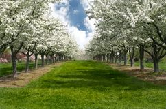 Apple Blossom Lane. Grass Lane Lined with Apple Trees in Bloom Royalty Free Stock Image