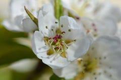 Apple blossom, macro photo Stock Photos