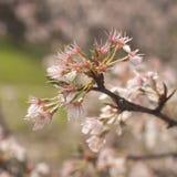 Apple Blossom. Macro of apple blossom in spring Stock Photo