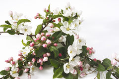 Apple blossom (Malus), close-up Stock Photo