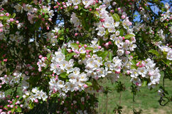 Apple Blossom (Malus domestica) Royalty Free Stock Photos