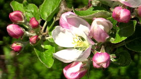 Apple blossom (Malus domestica). Bright white apple blossom (Malus domestica) rocking gently in the breeze. Small insect visit for short period then fly of stock video footage