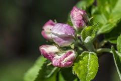Apple blossom, Malus domestica, closed Royalty Free Stock Photo