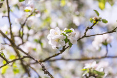 Apple Blossom in the midday sun Stock Images