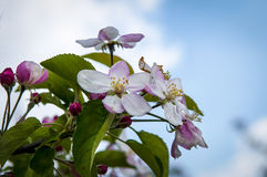 Apple Blossom. A nice picture of apple blossom Stock Photo
