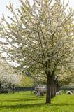 Apple Blossom Stock Photos