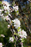 Apple blossom. Royalty Free Stock Photos