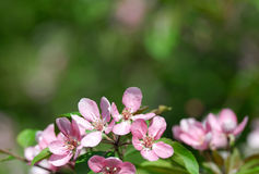Apple blossom over green Stock Photos