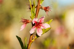 Apple blossom on young branches Royalty Free Stock Photos