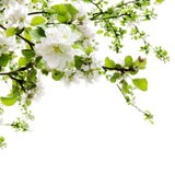 Apple Blossom over White Royalty Free Stock Images