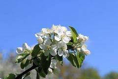 Apple blossom - part of our celebration of life royalty free stock image