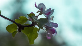 Apple blossom. Photo apple-blossom in the summer of 2015 Royalty Free Stock Photography