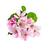 Apple blossom pink Royalty Free Stock Photo