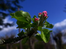 Apple blossom - pink. Pink apple blossom on blue sky background Royalty Free Stock Photo