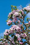 Apple blossom. Pink apple blossom growing on the apple tree with a bee in one of the flowers. Scientific name Malus pumila Stock Photos