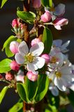 Apple blossom. Pink and white `James Grieve` apple blossom on a tree Royalty Free Stock Photo