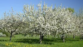 Apple blossom, plantation in Germany, at Eislingen with the famouse hill Hohenstaufen stock video