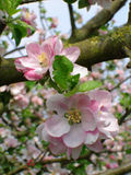 Apple blossom portrait. Traditional variety apple blossom growing on bough Stock Photos
